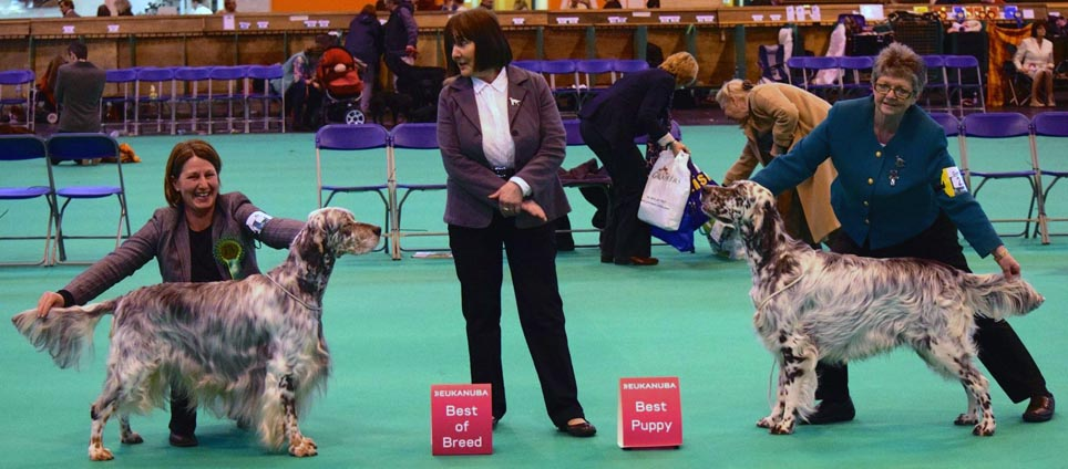 English Setters Crufts 2015