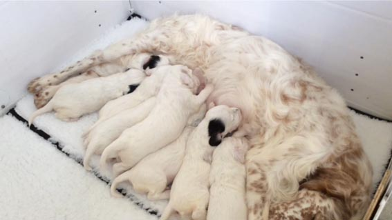 Mariglen Xanthe with her puppies